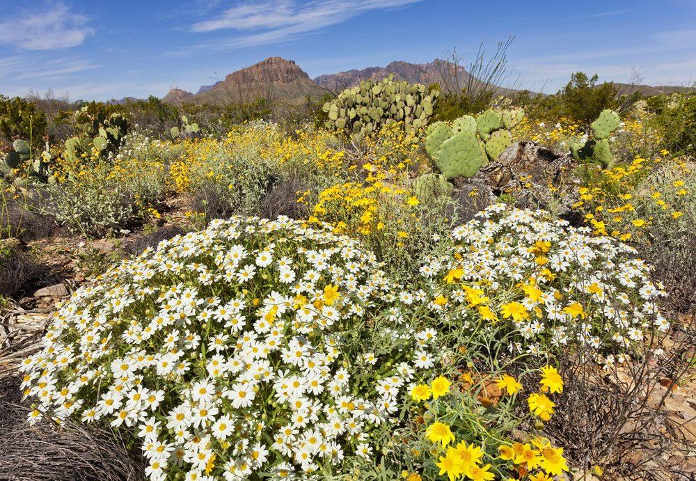 wildflowers-ABP-Chihuahuan-Desert.jpg
