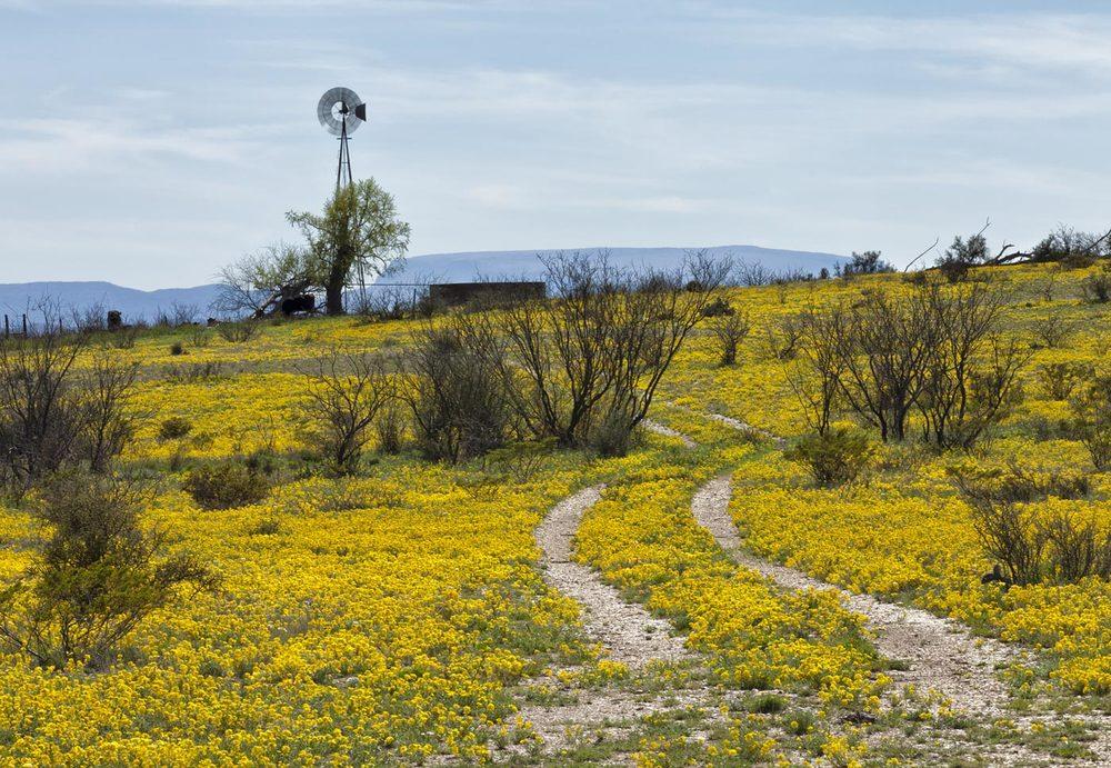 wildflowers-ABP-Marathon_bladderpod.jpg
