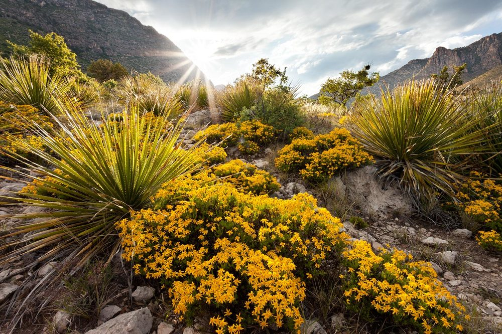 wildflowers-ABP-Damianita_Guadalupe-Mountains-Natonal-Park.jpg