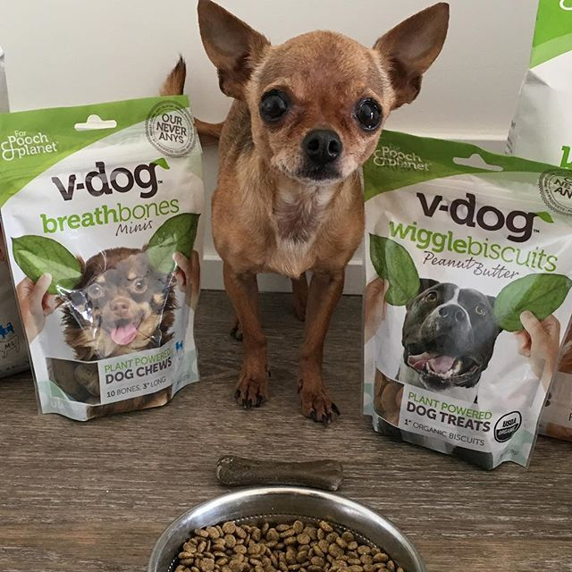 Carmen San Diego LOVES all her @vdogfood treats and food!! She is finally putting on some weight and is SO ready for her forever home!!! Will you adopt Carmen? Please fill out an adoption application on our website ASAP!! #adopt #chihuahua #appleheadchihuahua #teacupchihuahua #tinydog #rescuechihuahua #adoptme