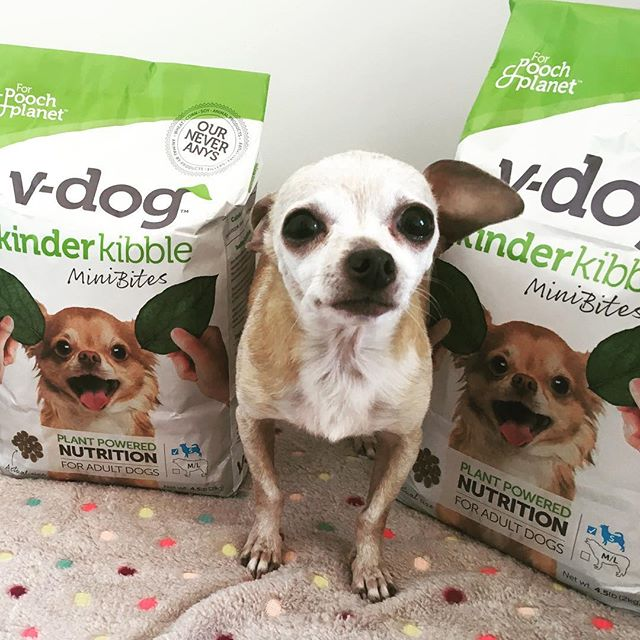 Does it get any cuter!?? Daisy needs a home ASAP, she is SO sweet and loving and gets a long great with everyone, she LOVES her @vdogfood food and bones sooo much 💙🌏🌱 to adopt Daisy please visit our website. If you have any questions about your Dog turning vegan please ask below 🍏 #vegandog #adoptdontshop #chihuahuasofinstagram #adoptme #adoptables #veganchihuahua #seniordog #seniordogs #seniorchihuahua