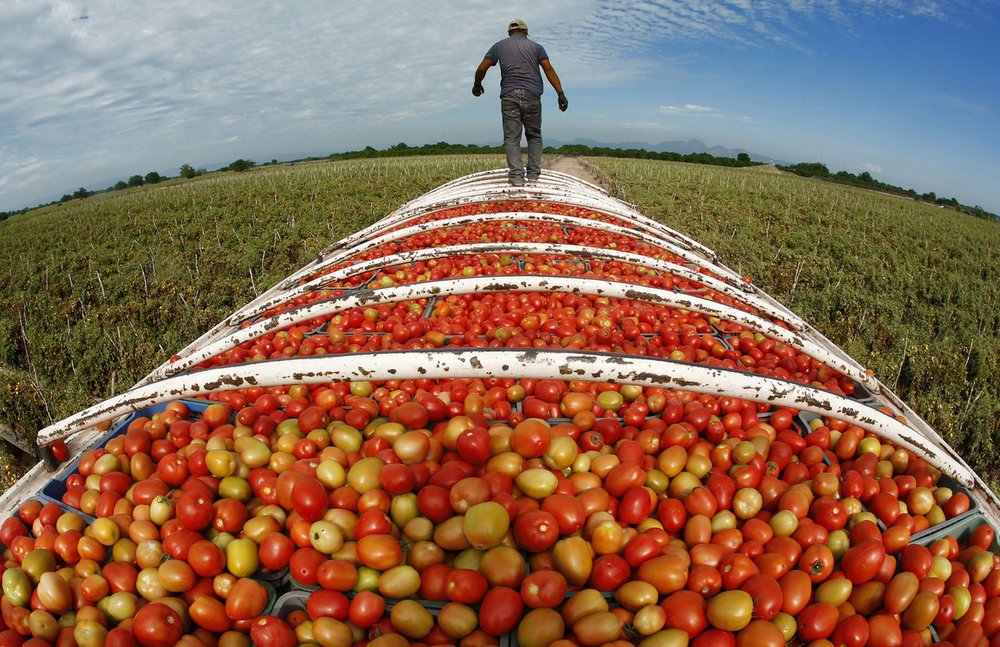 Roma-tomatoes-in-Cristo-Rey-Sinaloa.jpeg