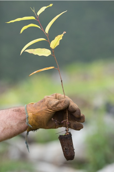 We plant native trees within Australia