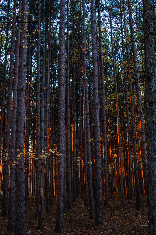 Low Sun Pine Forest - West Virginia