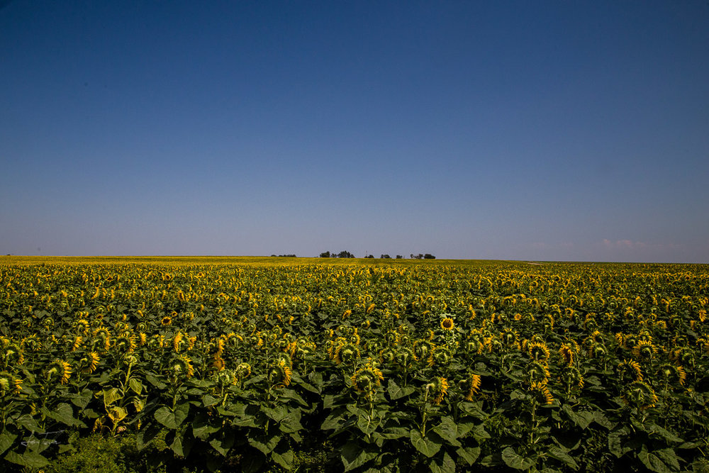 Sunflowers, Nebraska