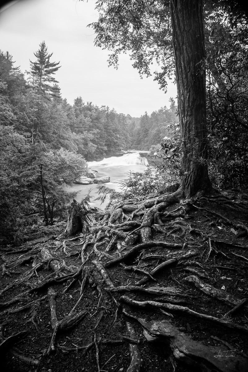 Tree at Swallow Falls - Maryland