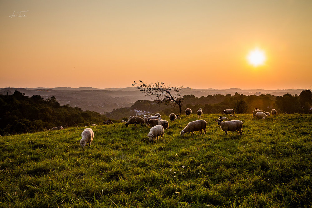 Summer Sunset Sheep