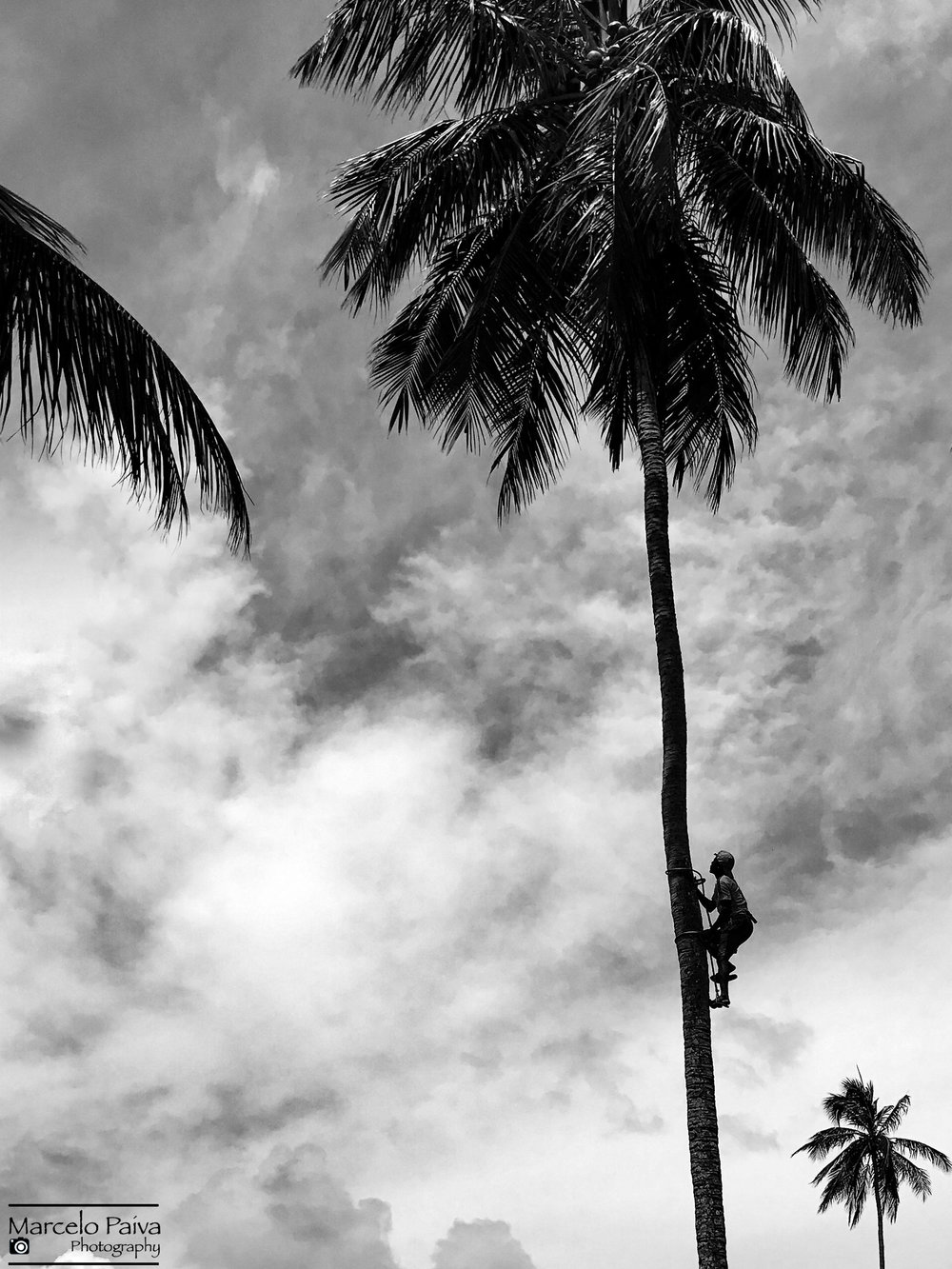 Coconut Harvest Workers