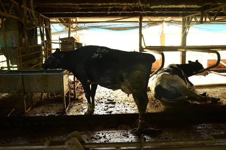 這是四方牧場夏天泌乳牛區,泌乳牛飲水量、食量較大,排泄量因此較多,台灣氣候潮濕排泄物無法如溫帶國家乾燥,若牧場沒定時清理地板,會增加乳牛腳蹄感染,間接導致死亡的風險。    照片下方四方牧場裝設了自動括糞機(軌道),定時刮除排泄物,這是在牧場裡較輕易可以看到對乳牛友善的加分設施,更多的細節則需要長久經驗與專業度的累積。
