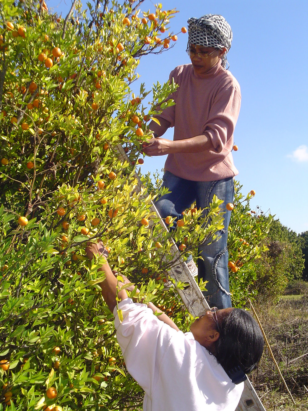 cf1aa-2-Ramassage-des-Mandarines-sauvages.jpg