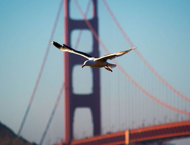 #seagull #flight #sanfrancisco #goldengatebridge #california #californiaadventure #naturephotography #photooftheday #photography  Stunning shot I took, absolutely awesome!