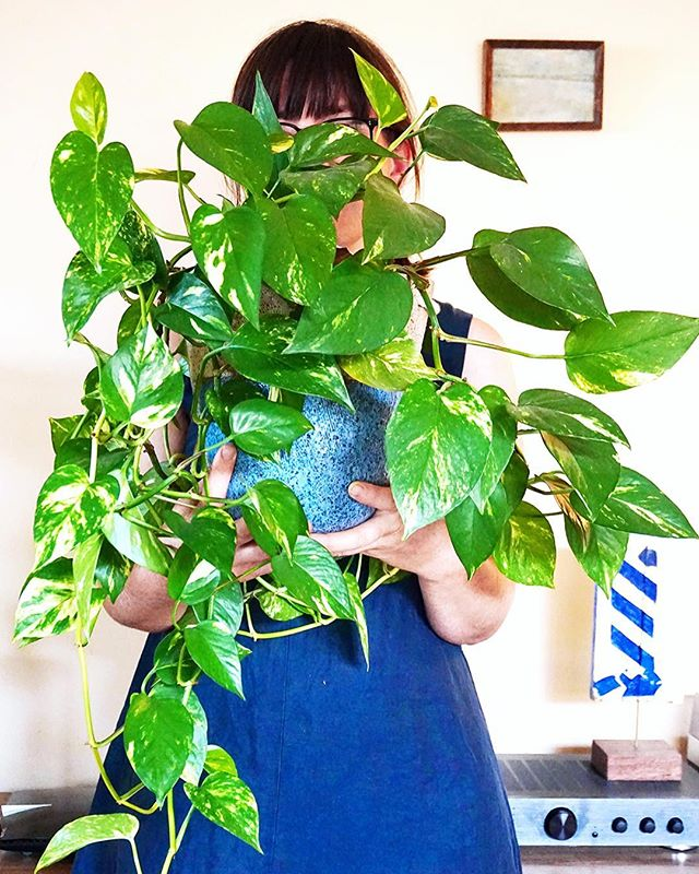 🌿 #myfancyplant 🌿  Anna makes homes for plants usually in the leggy and hangy pot variety @lucky_anna 🙌🏼. It's no surprise that she has acquired all sorts of weird and wonderful plants to add to her own pot collection at home. We go back to where her plant obesssion all began ~ Epipremnum aureum ~ known by everyone as 'Devil's Ivy'. The perfect first timer plant as it tolerates a wide variety of conditions and you are rewarded with new a leaf or two regularly. It also has loads of shelf appeal, cascading down or creeping around corners to make even the plant novice seem like they have been a green thumb for years. 🌿 'The Devils Ivy was my first indoor plant. I thought I'd killed it. There was only one leaf left and it looked very sad. I put it outside for six months and totally neglected it then suddenly there was another leaf. Then another. And we never looked back. It now hangs proudly indoors again.' 📷 by @lucky_anna  We have a few 1.5+ metre long hanging baskets available this weekend at our event. Details in bio. ✨