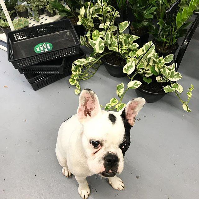 "One happy plant customer ""Lulu"" the cutie at Plants, Pots & Posies. 🌿 Last day today. Open until 6pm today come say hi! 👋🏼. . . . #mrfancyplants #plantspotsandposies #popupshop #plants #ceramics #greenery #botanicalpickmeup #flowers #botanical #plantlife #cutedog #plantfriends #happyplants"