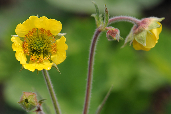 Geum 'Lemon Drops'