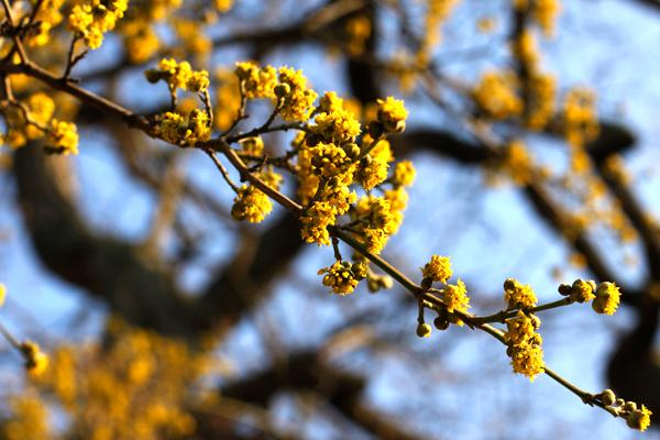 Cornus mas flowers