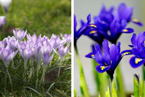 Crocus tommasinianus & Iris reticulata 'Harmony'