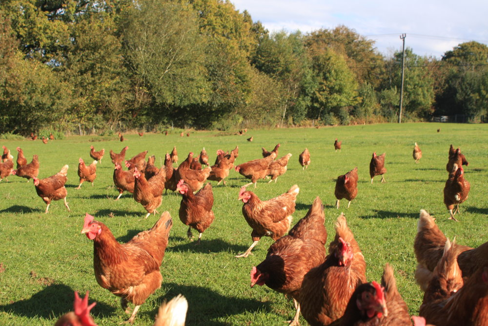 free range hens.jpg