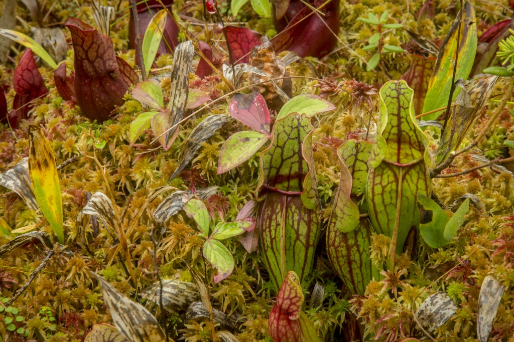 The plant life in Maine is extrodinary above is an image of Pitcher plants, these guys must be pretty resilient to pop up in an area where snow is on the ground half the year!