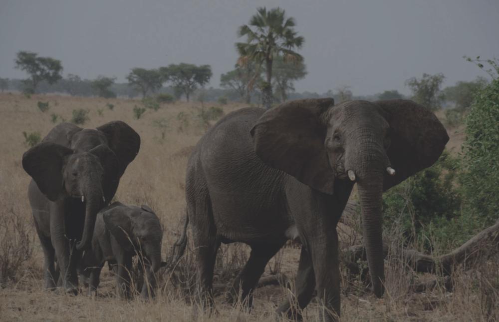 Uganda Elephants2.png