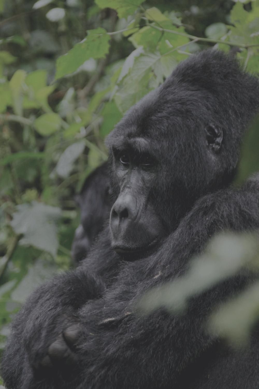 ITKE Uganda Gorilla Trekking.png