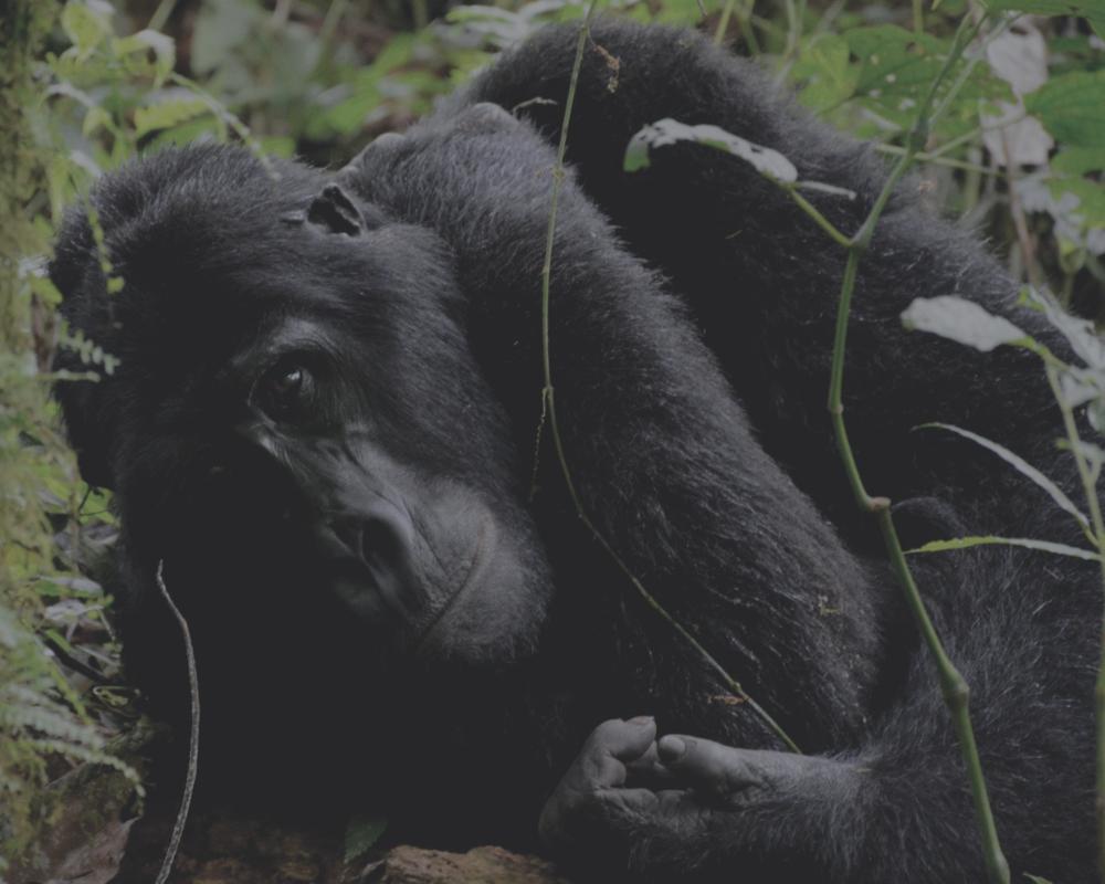 ITKE Uganda Gorilla Trekking Safari.png