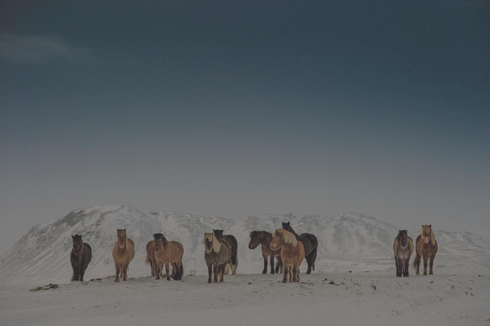 PHOTO: ICELANDIC HORSES