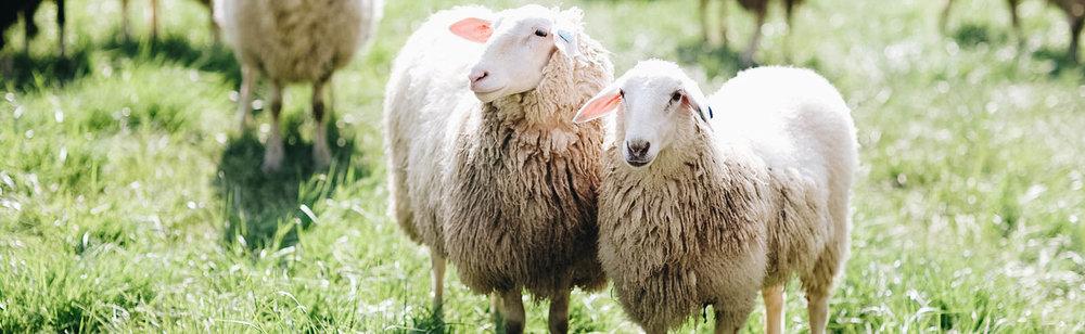 sheep-hero.jpg
