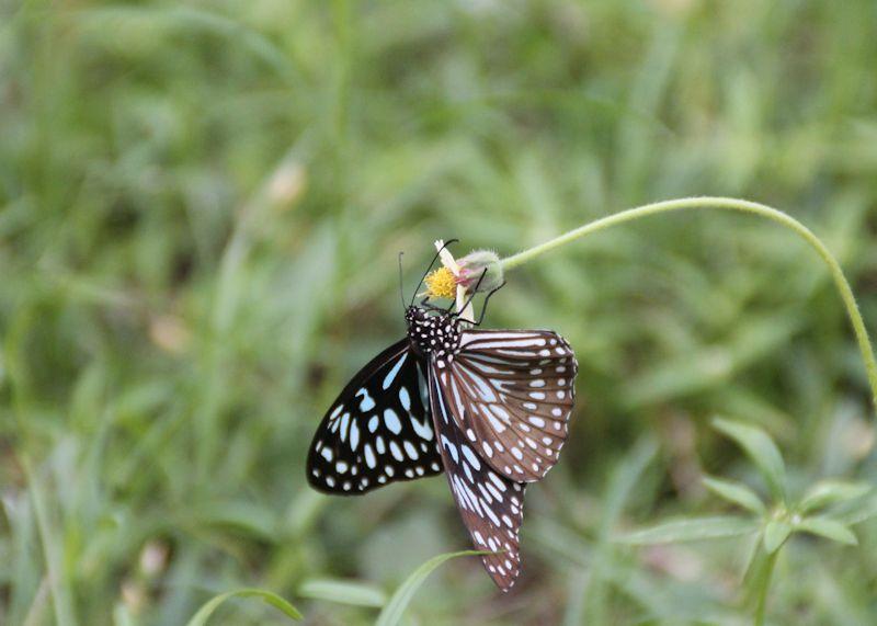 Blue Tiger (Tirumala limniace).JPG