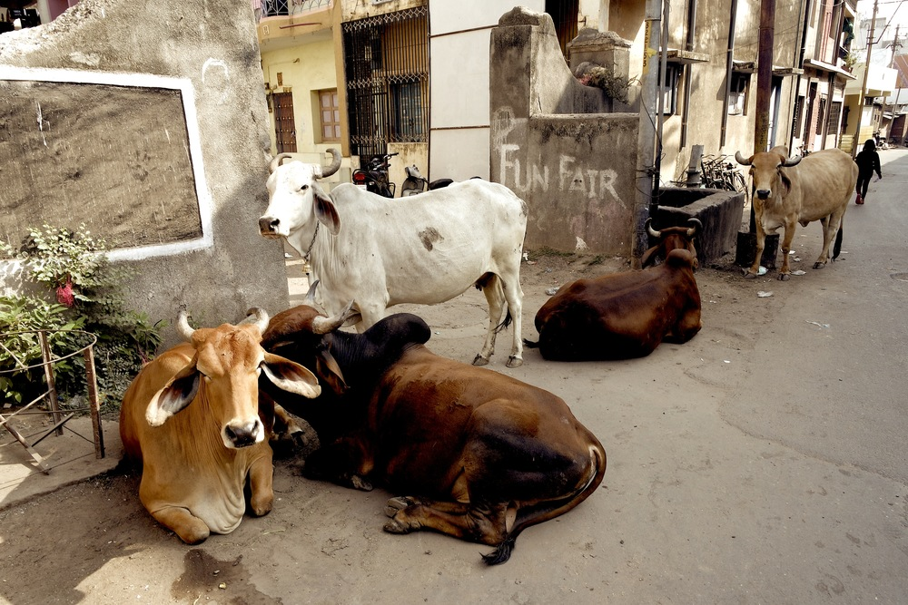 In Baroda, as in all of India, you'll be sharing the road with cows