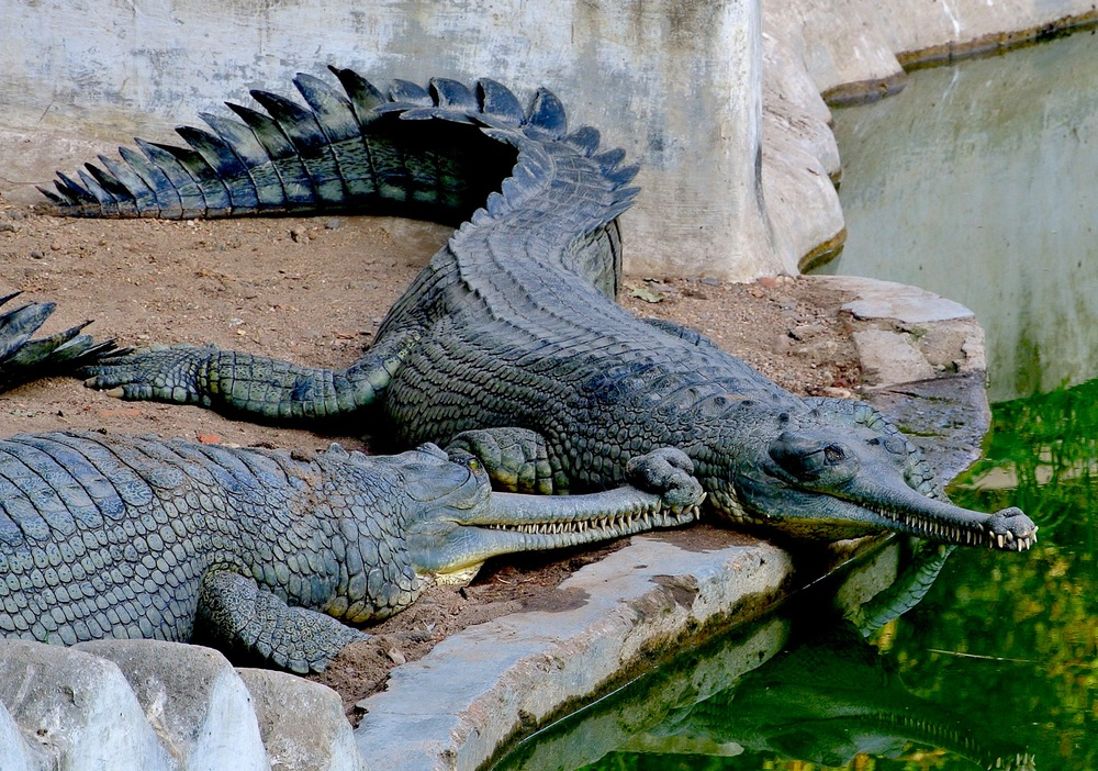 Check out the snouts on these gharial crocodiles at the zoo in Baroda