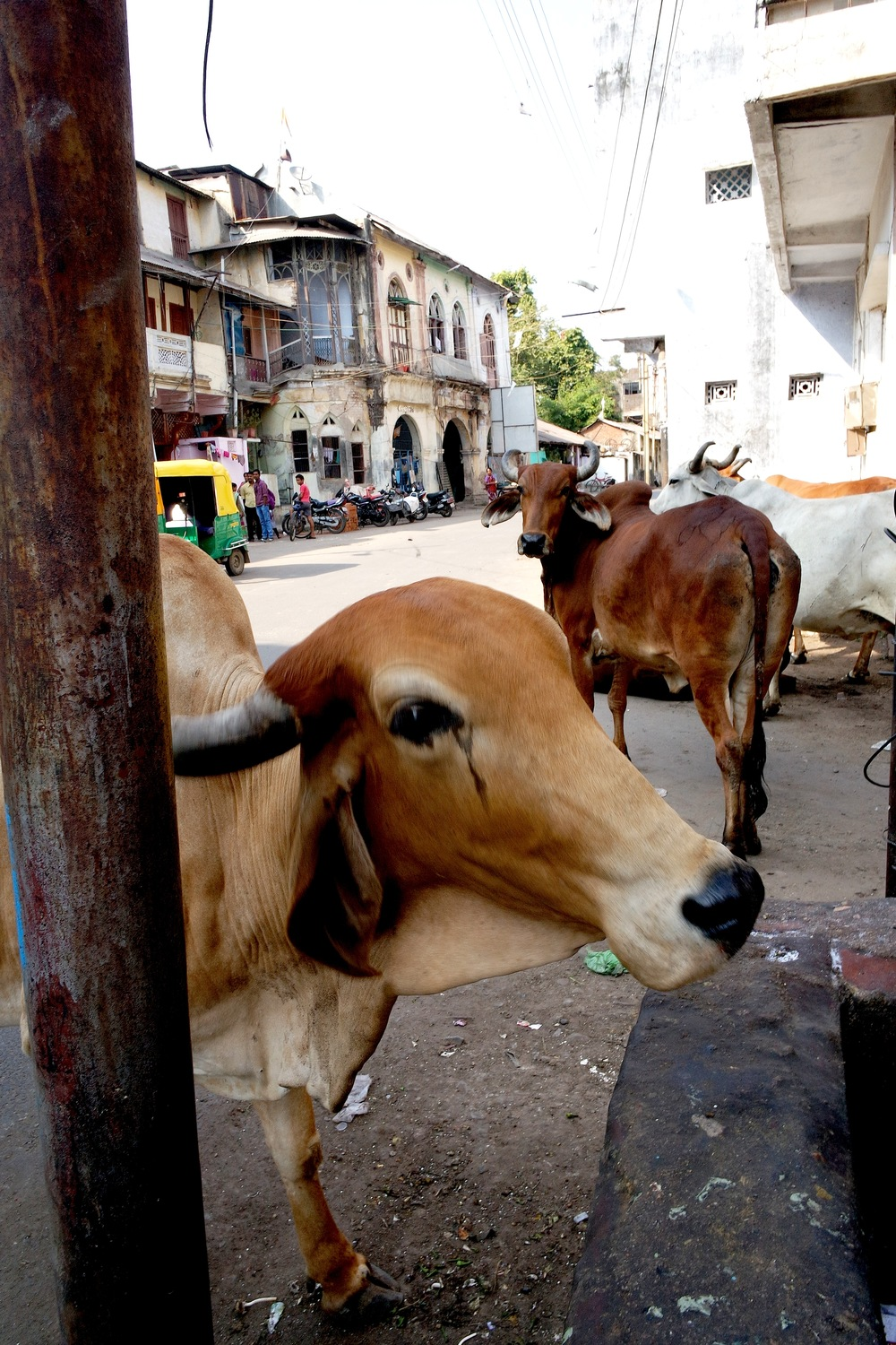 Cows like these have free rein in India, where they are revered by Hindus