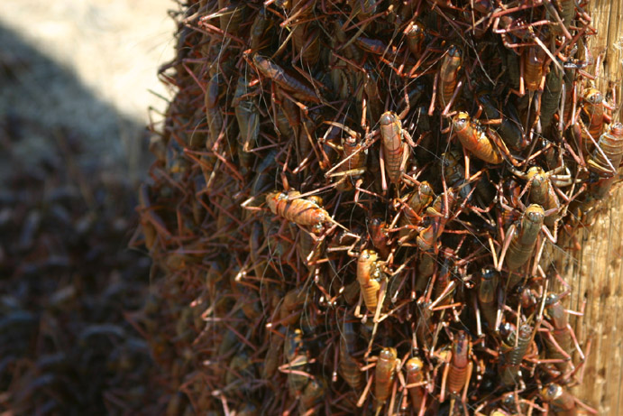 Is this a natural swarm of insects — or the result of a Native American curse?