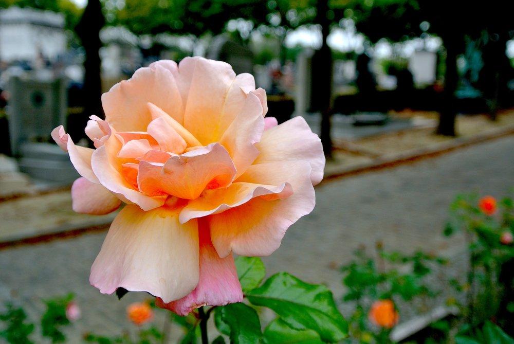 roseperelachaise.JPG