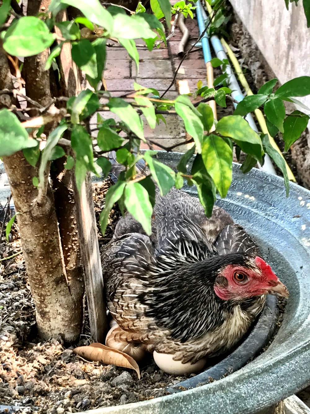 A hen sits on her eggs in a pot by the chedi