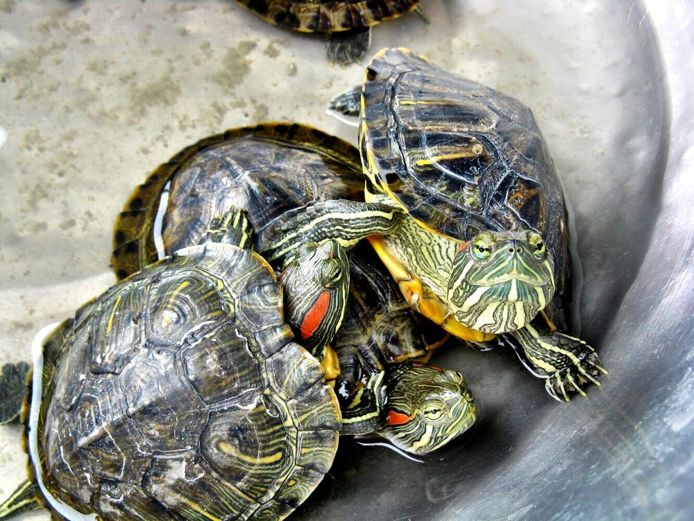 You can pay to release one of these red-eared slider turtles into the Yen River — and have a wish come true