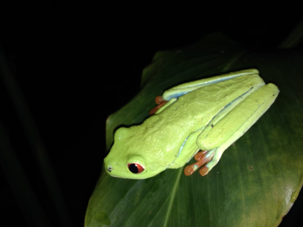 A Costa Rican red-eyed tree frog. There are thousands of types of frogs in Costa Rica, many that exist only there. Allison took this picture near Arenal Volcano