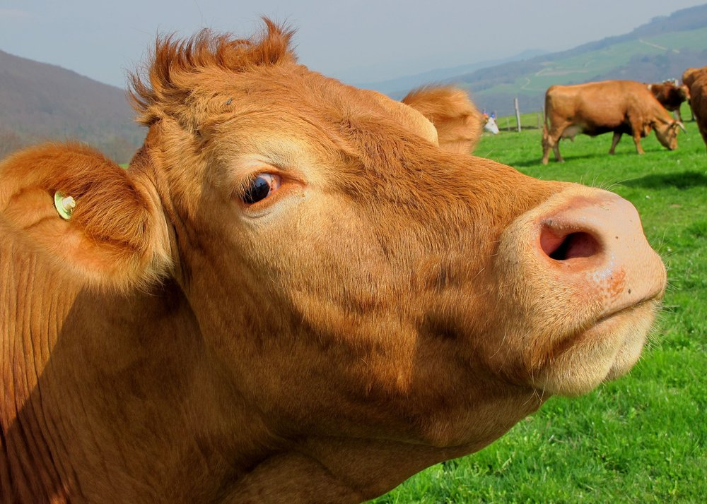 "If you don't know what ""la vache"" means, you speak French like a Spanish cow"