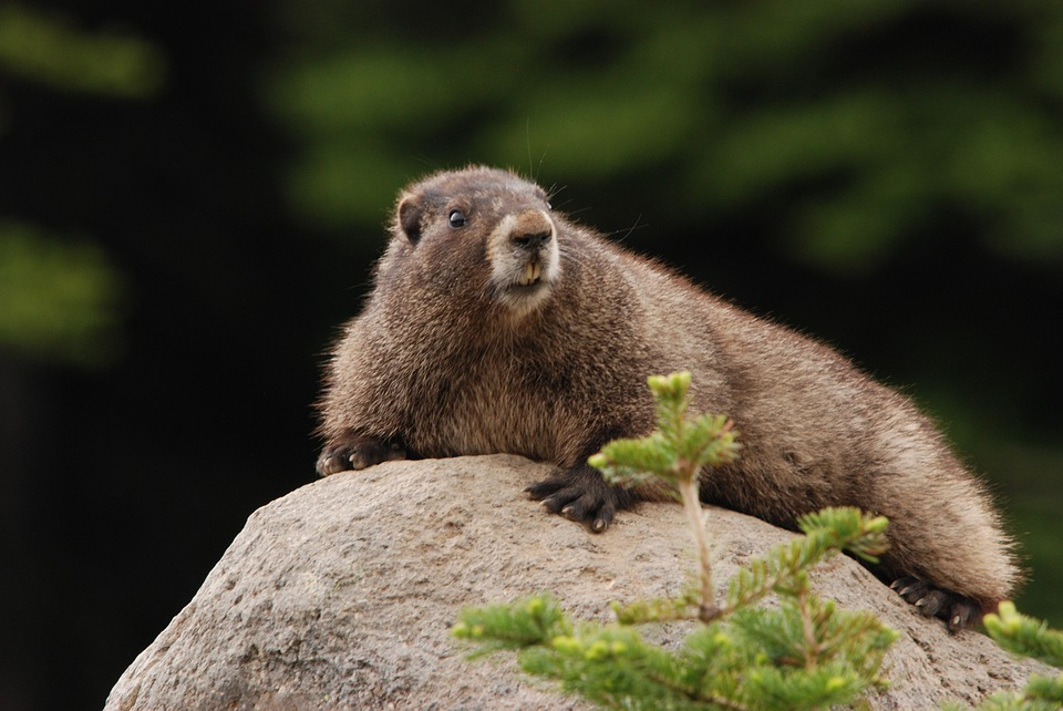 Marmots, like this fellow, really know how to get a good night's sleep
