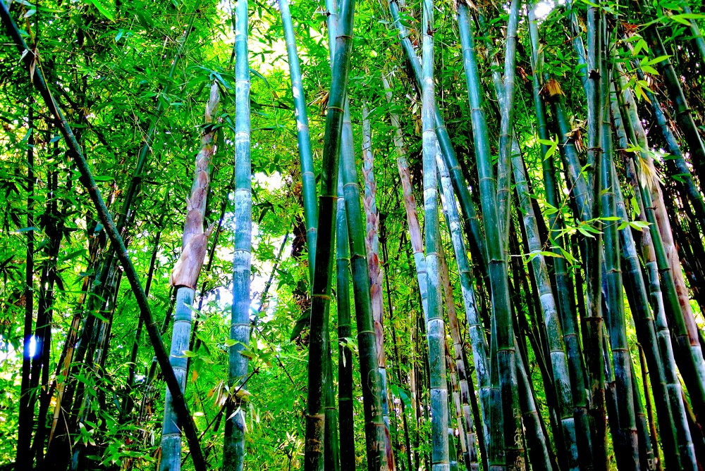 The bamboo copse at Majorelle