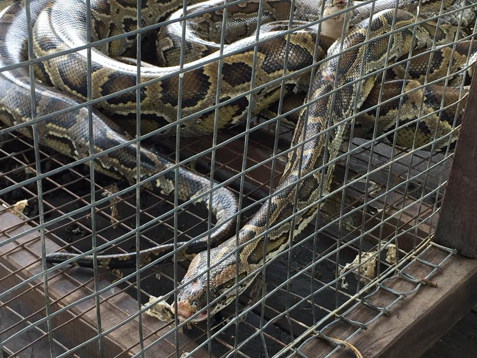 Snakes in cages and other atrocities are all you'll see at Chong Kneas