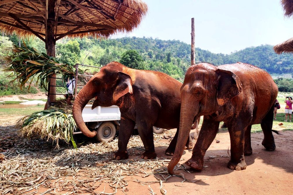 Elephants at the park get fed corn, rice, watermelon and squash — but they seem to prefer bananas