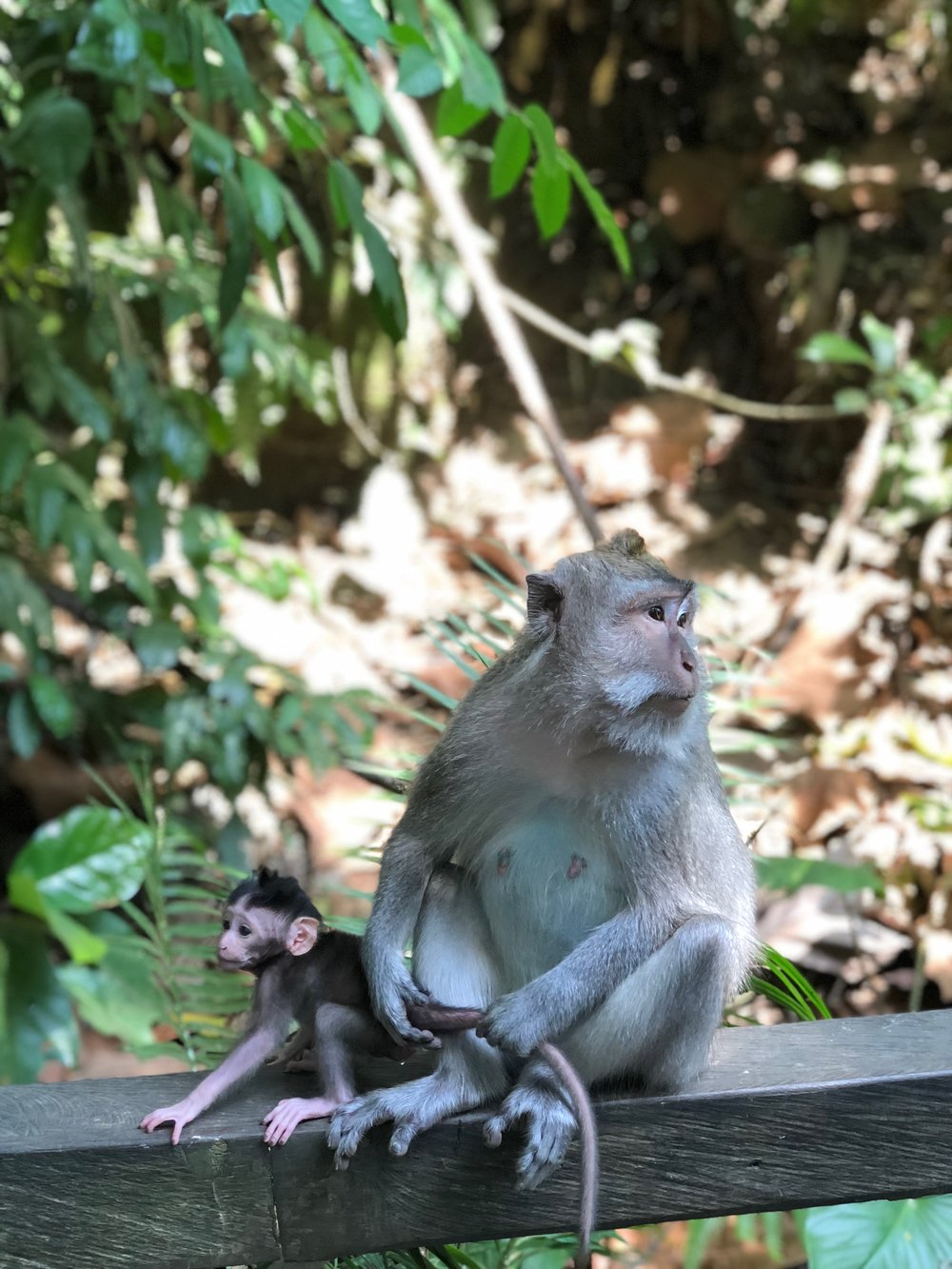 Hindus, like those on Bali, revere monkeys, in part because one of their main gods, Hanuman, is simian