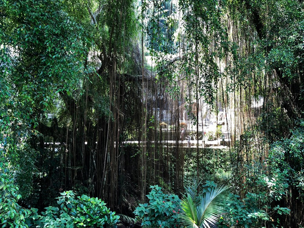 The other side of the river can be seen through curtains of banyan roots