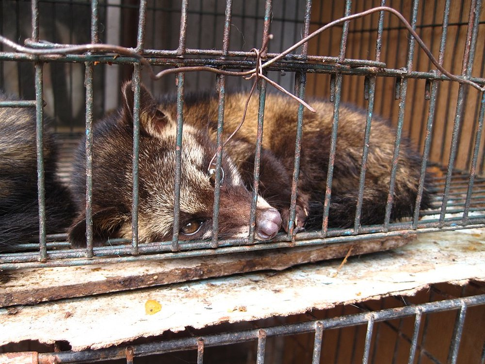 Many poor civets are kept in cages and mistreated to make sure there's a steady supply of luwak coffee
