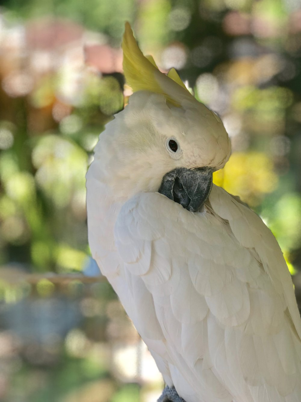 A striking cockatoo with a sulphur-yellow crest