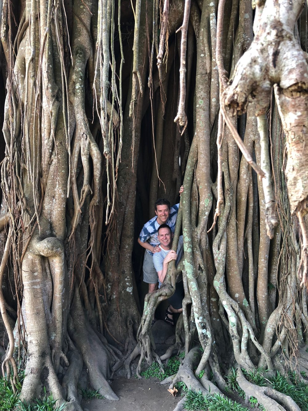 Banyan roots grow down from branches and become as solid as trunks, forming a cave of sorts