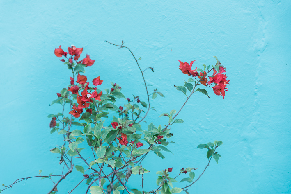 blue-red-bouganvillea-Photographer-travel-blogger-Sydney