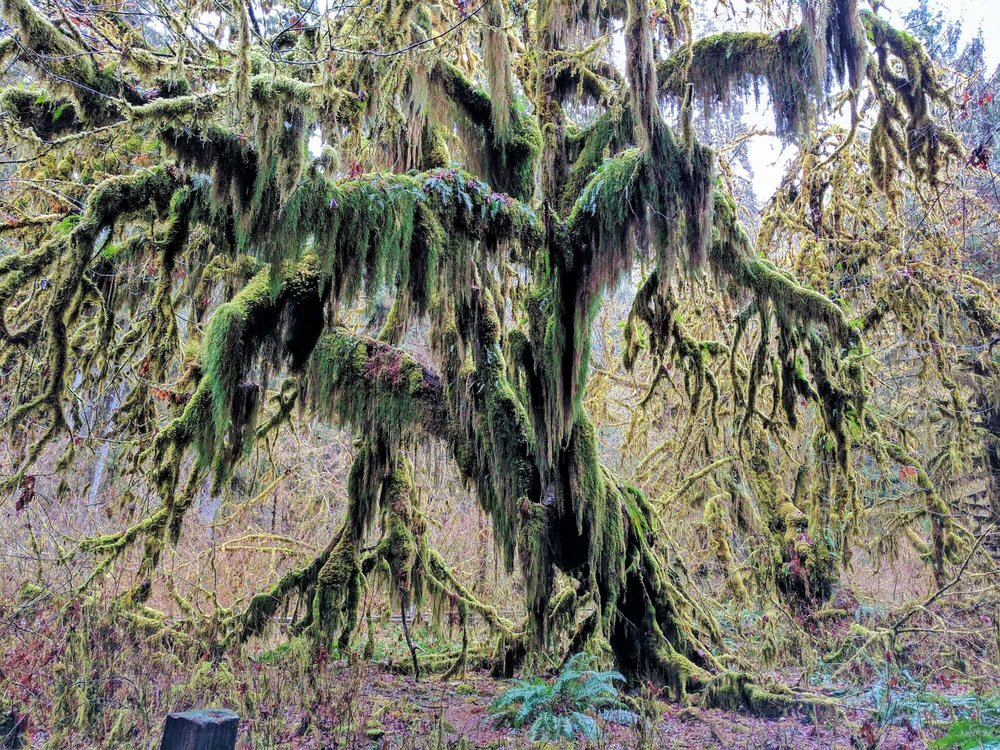 Hoh Rain Forest - Olympic National Park