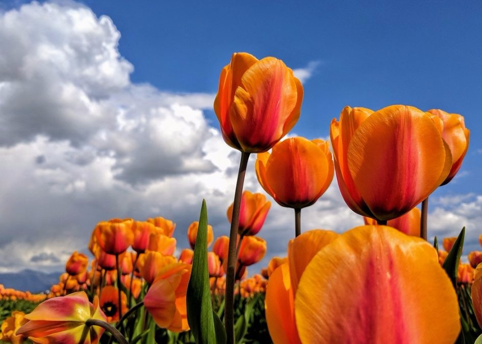 SKAGIT VALLEY BLOOMS IN SPRING