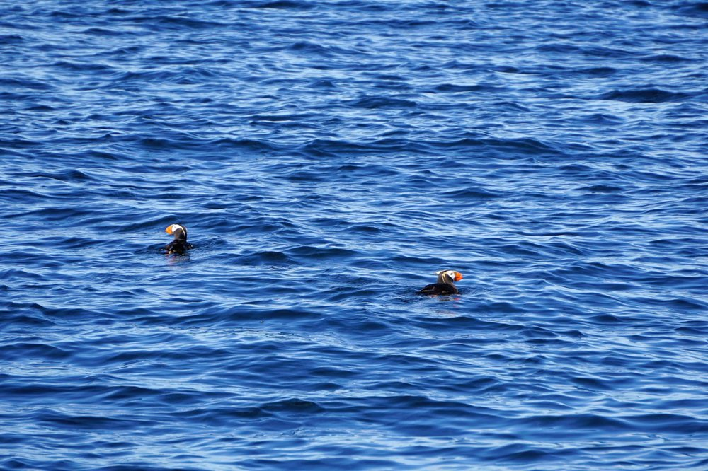Puffins seen with Mystic Sea Charters of Anacortes
